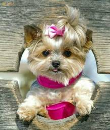 Yorkshire Terrier lindos