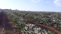 Fazenda de Cafe com 130 hectares