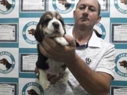 Filhotes de beagle entrege com pedigree pai e mae com pedigree qualidade indiscutível