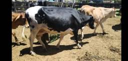 Vendo ou troco vacas de leite