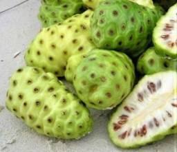 Mudas de Fruta Noni