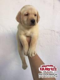 Labrador, condições totais e garantias exclusivas, em 12X sem juros