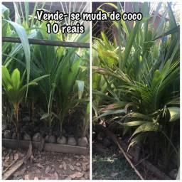 Título do anúncio: Vende - se muda de coco anão do amarelo e verde