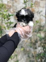 Filhote de Lhasa Apso com pedigree