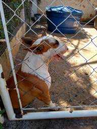 Bull terrier inglês macho aberto a cobertura