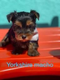 Yorkshire machos adoráveis