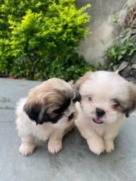 Pequenos filhotinhos de Shih Tzu
