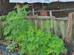 Mudas de moringa oleifera disponível 15 reais a unidade