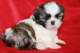 Shih tzu com seguro de vida e aux veterinario