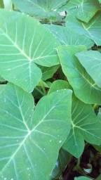 Vendo mudas de Taioba acima de dez mudas entrego