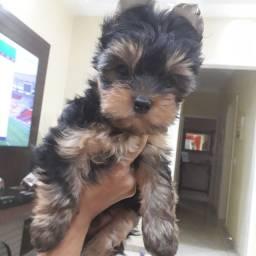 Vendo esse lindo filhote de Yorkshire Terrier