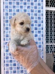 Lindos filhotinhos de Poodle disponíveis em loja física, consulte-nos *Lucas