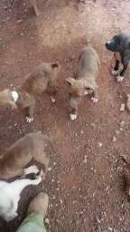 Filhotes Pitbulls  a venda pais  no local
