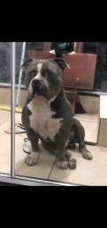 Inseminação artificial em cães Aparti de 350$