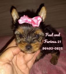 Lindos babys Yorkshire Terrier