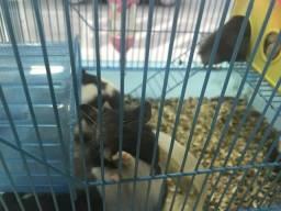 Vende Hamsters Sírio panda
