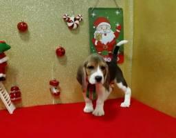 Beagle macho e fêmea tricolor no pet da madre!!!
