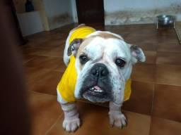 Bulldog inglês femea