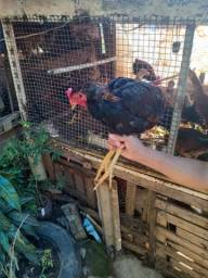 Galos e galinha