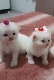 Filhotes gato persa olhos azuis