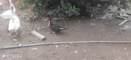 Vendo Patos e angolas Francesas Gigante