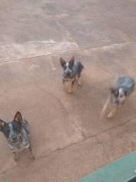 Cachorros blue hiller