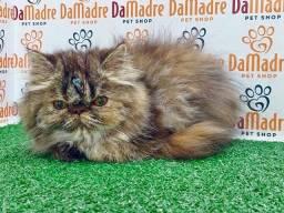 No Da Madre Pet Shop você encontra filhotes de Gato Persa, parcelamos!!