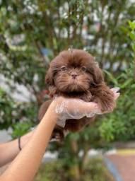 Shih Tzu - Seu filhote a sua espera. O mais belo dos cães
