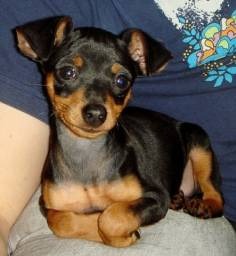pinscher machinhos lindos