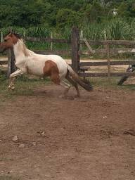 Égua mangulino