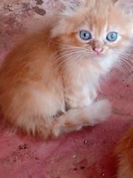 Gatinhos persa pet