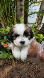 Shih Tzu os mais belo filhote com segurança e ampla assistência de saúde