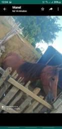 Cavalo manga larga campolino