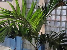 Mudas caju e palmeiras