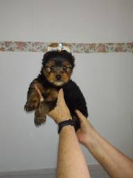 Yorkshire Terrier macho