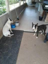 Bullterrier vendo almenara MG