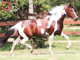 Cavalo Manga Larga Homozigoto
