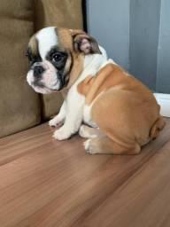 Filhote Bulldog Inglês Fêmea - Alto Padrão
