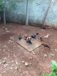Vende-se galinhas