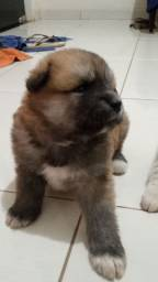 Cachorros Akita