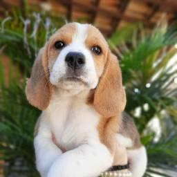 Beagle Filhotes 13Polegadas Pedigree & Garantia de saúde
