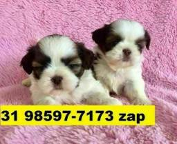 Canil Filhotes Cães BH Shihtzu Lhasa Poodle Yorkshire Maltês Beagle