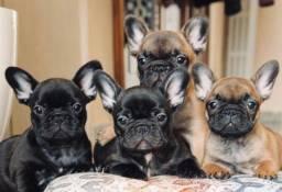 Filhotes de Bulldog Francês Perfeitinhos