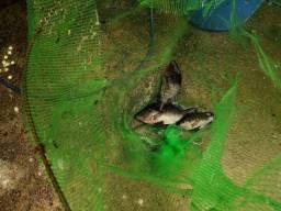Sistema de criação de peixes em caixa d'água com preço de desapego