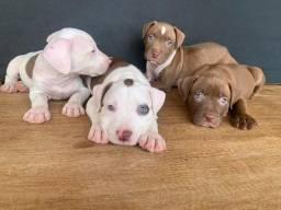 Pitbull red nose/ black/ blue, machos e fêmeas padrão gigante,  * larissa