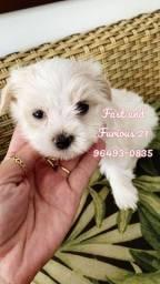 Maltês - Belos babys machinhos disponíveis!!