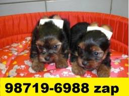 Canil Filhotes Cães BH Yorkshire Beagle Poodle Lhasa Maltês Shihtzu Pug