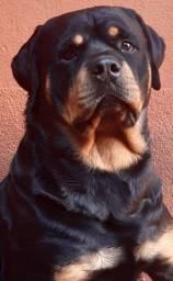 Rottweiler macho com pedigree disponivel para cruza