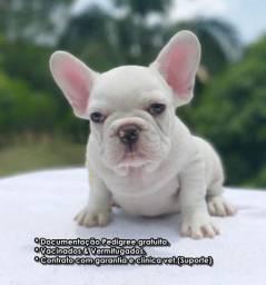 Bulldog frances branco