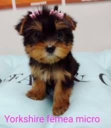 Yorkshire Terrier micro, venha conferir!